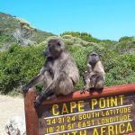 baboons_cape_point_south_africa_04