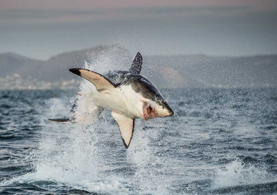 Great White Shark (Carcharodon carcharias) breaching in an attac